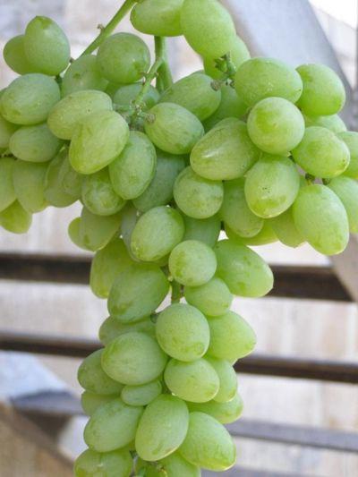 Виноград Элегант 1