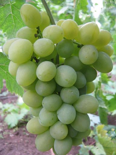Виноград Элегант 4