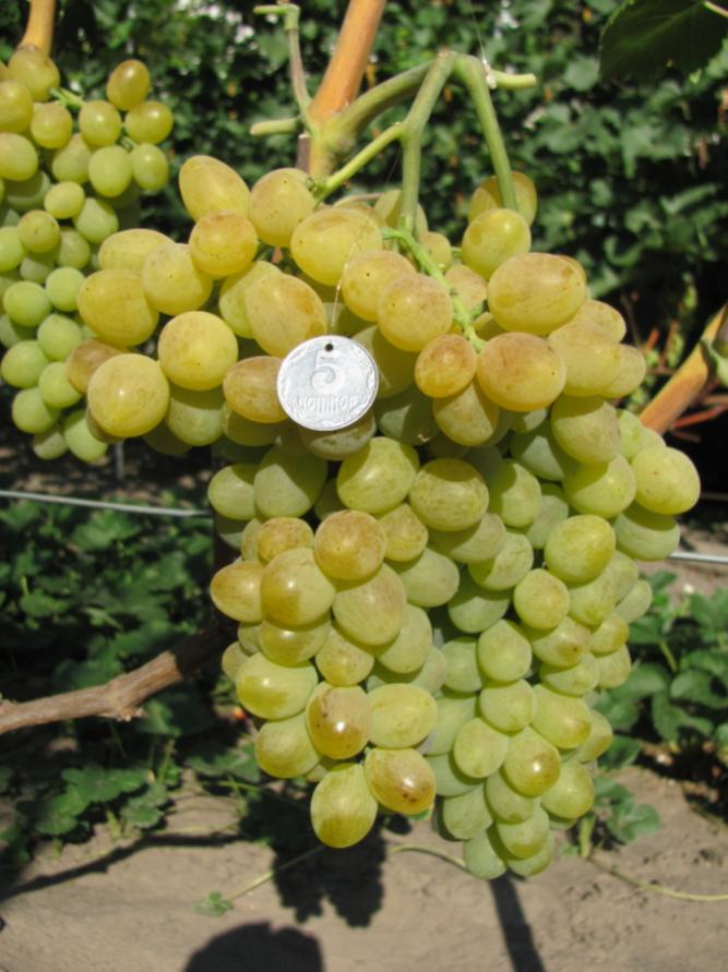 Виноград Элегант 2