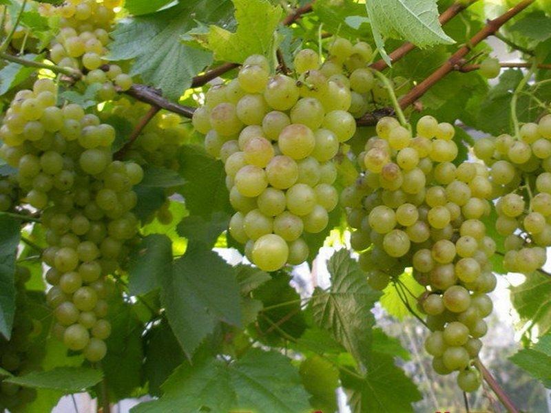 Виноград Краса Севера 1