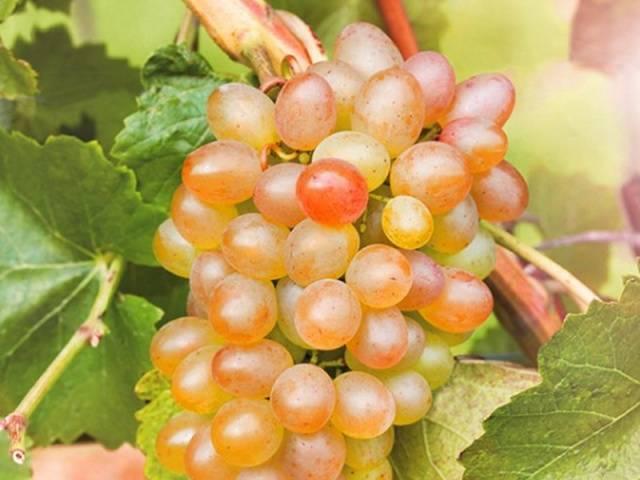 Виноград Краса Севера 2