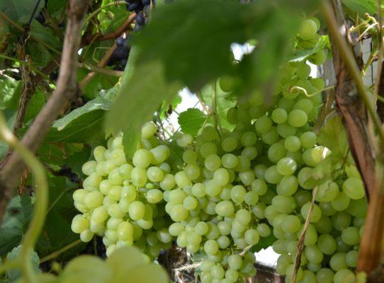 Виноград Краса Севера 4