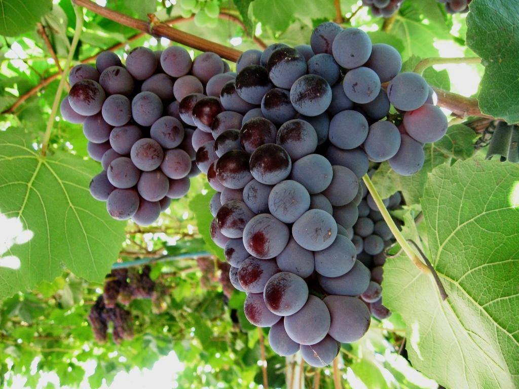 Виноград Лидия 3