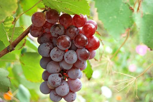 Виноград Лидия 4