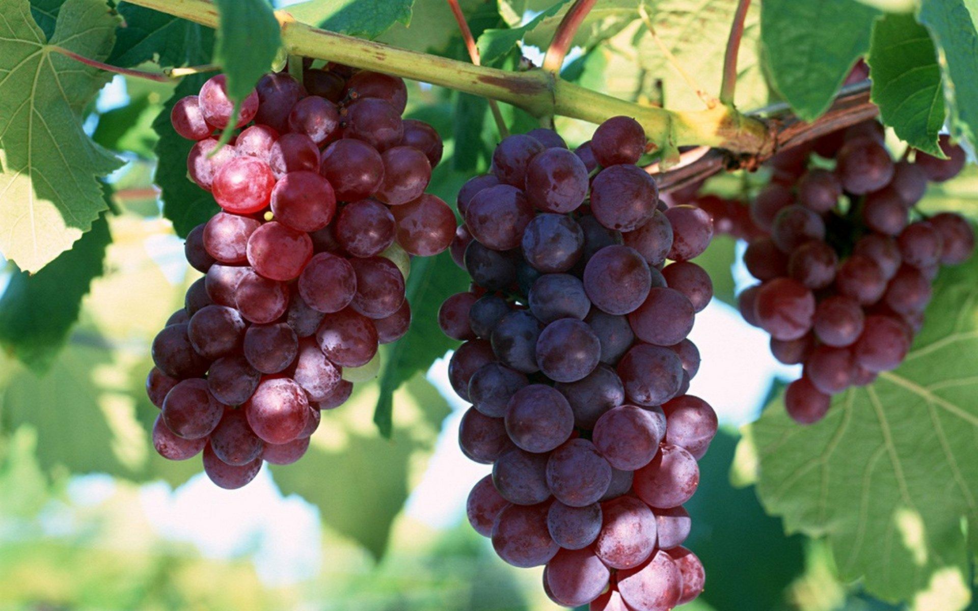 Виноград Лидия 1