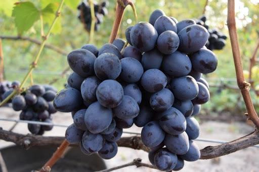 Виноград Махаон 1