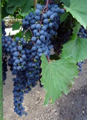 Виноград Махаон 3