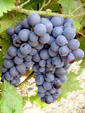 Виноград Муромец 2