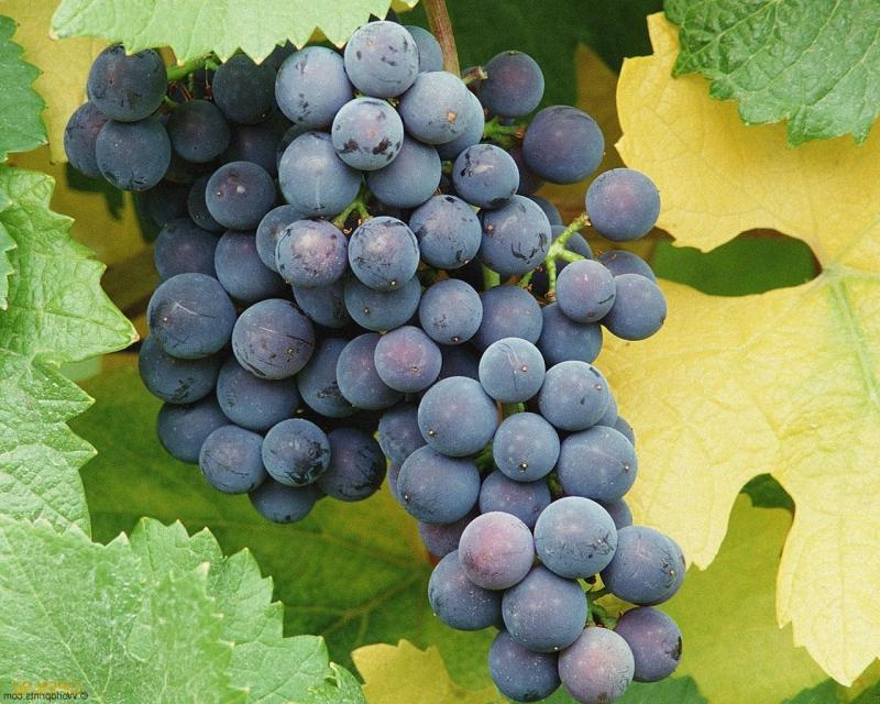 Виноград Муромец 4