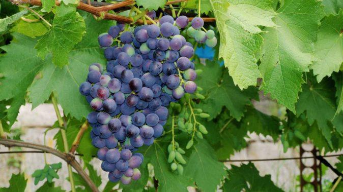 Виноград Муромец 1