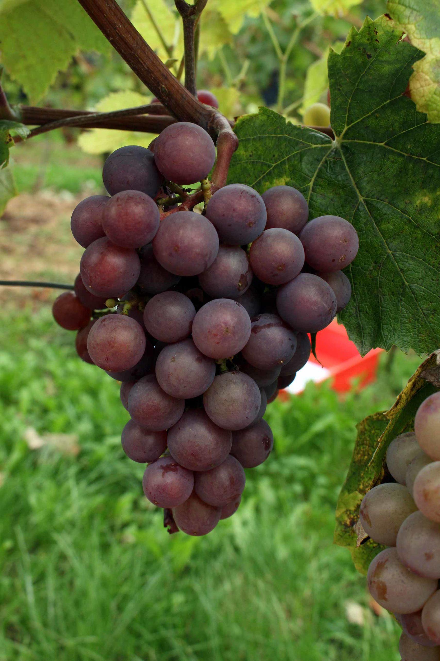 Виноград Награда 2