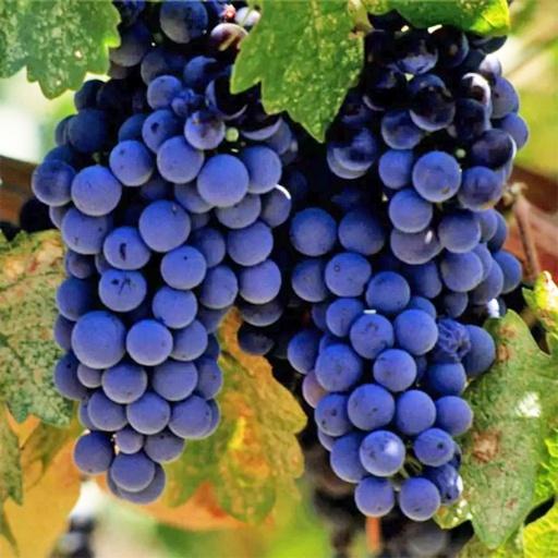 Виноград Награда 1