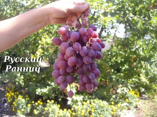 Виноград Русский ранний 2