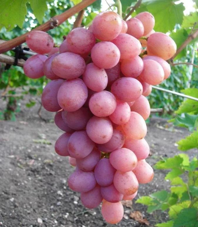 Виноград Русский ранний 4