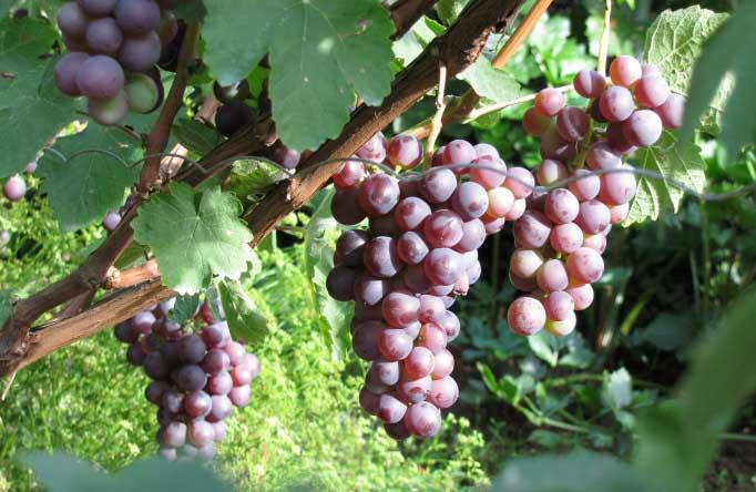 Виноград Русский ранний 3