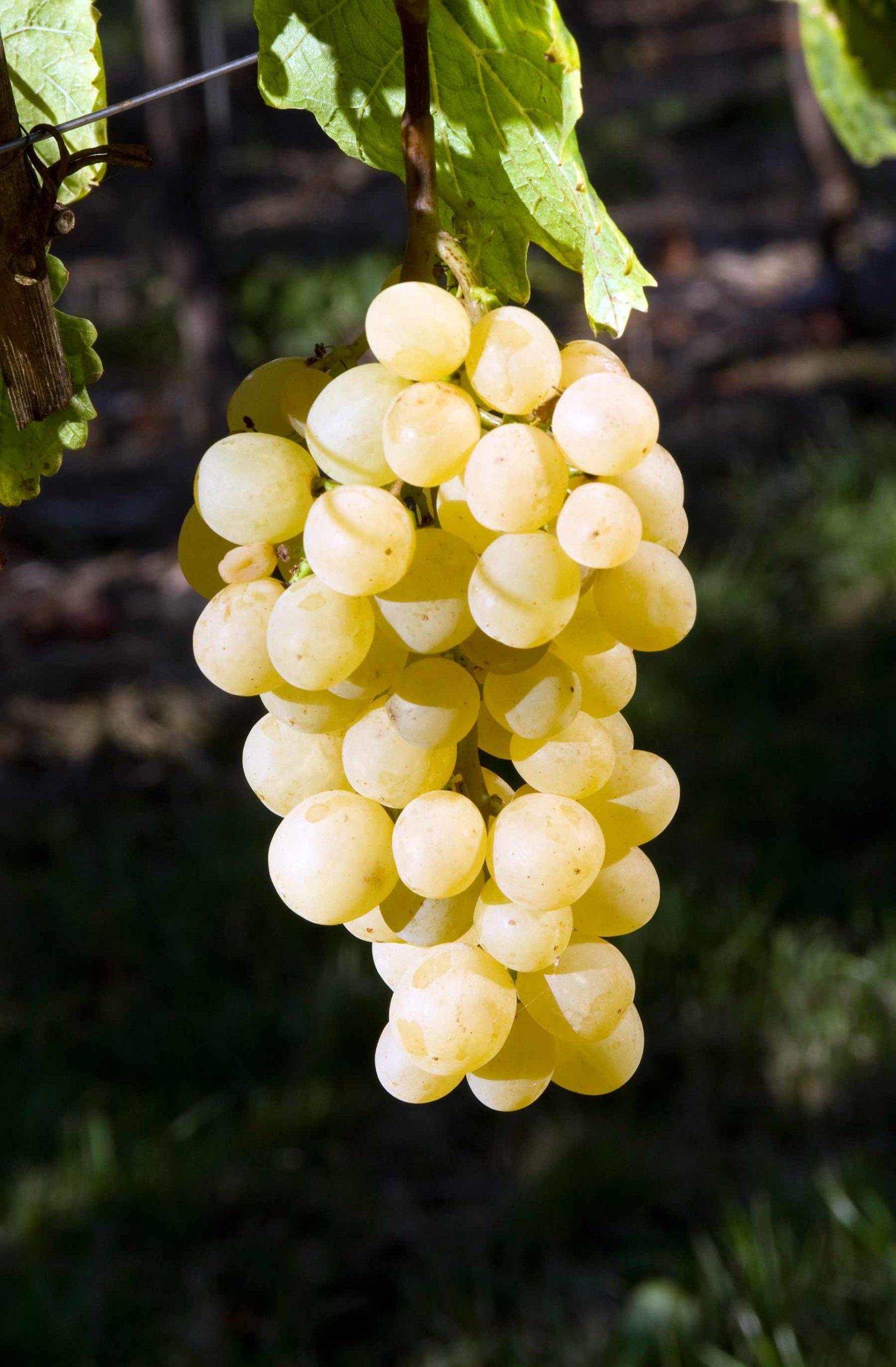 Виноград Янтарный 1