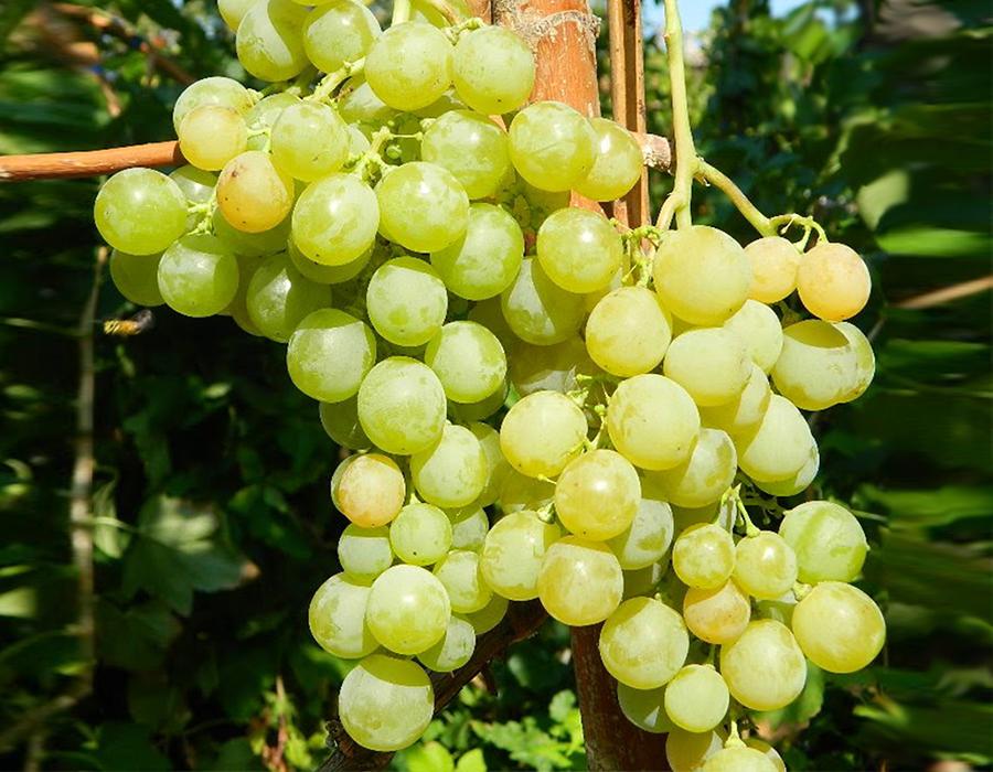 Виноград Янтарный 2