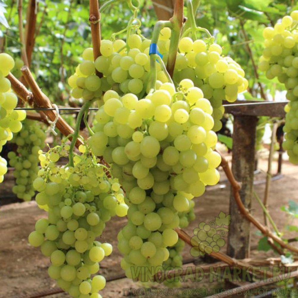 Виноград Янтарный 4