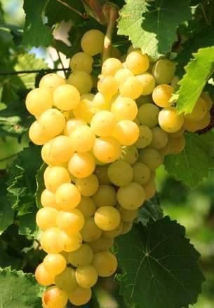 Виноград Янтарный 3