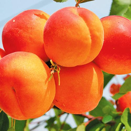 Абрикос Оранж ред 2