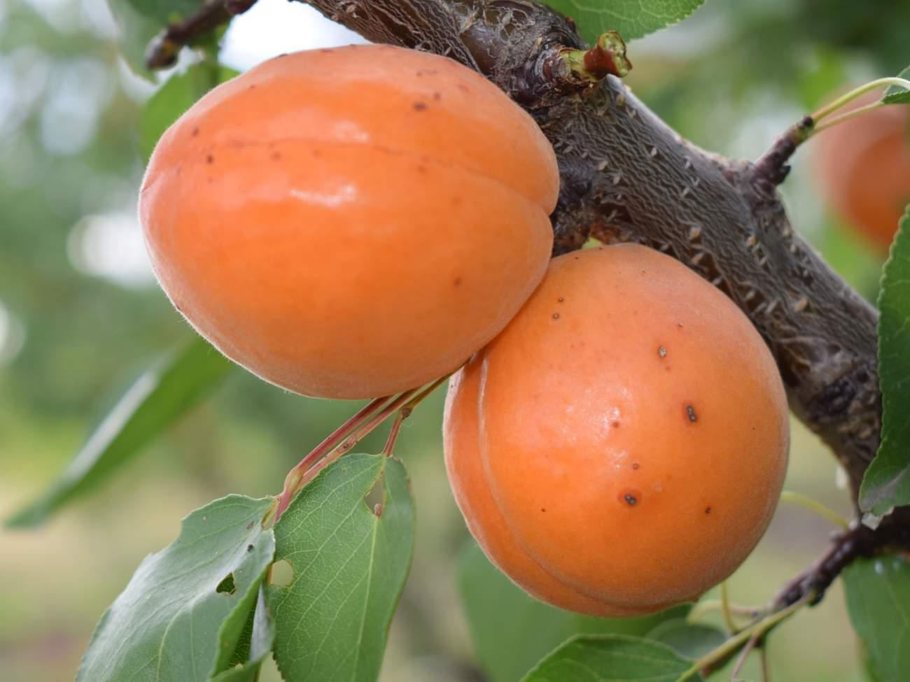 Абрикос Оранж ред 1