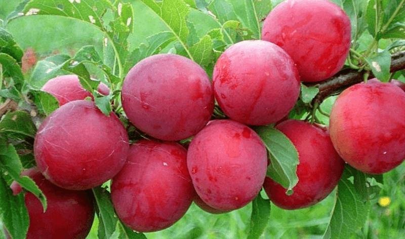 Алыча Красный шар 4