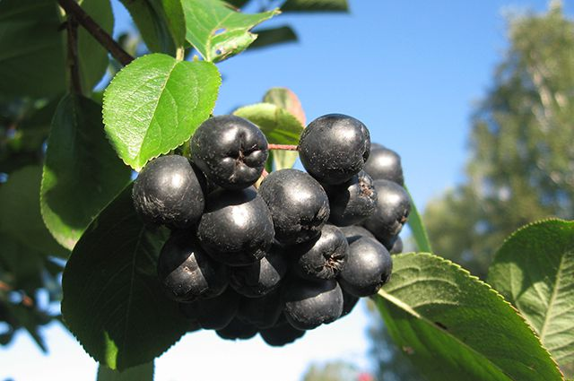 Арония черноплодная Черноокая 2