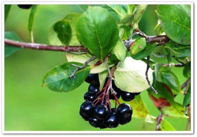 Арония черноплодная Черноокая 4
