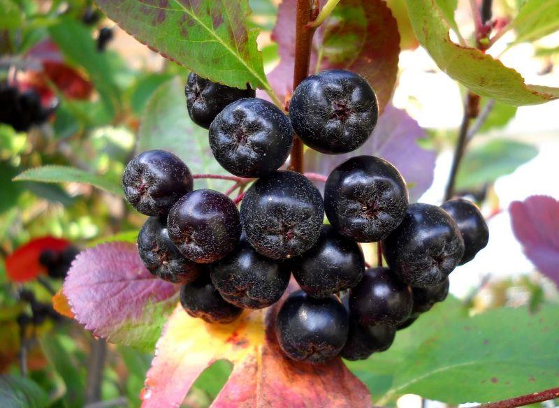 Арония черноплодная Черноокая 3