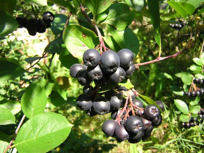 Арония черноплодная Вениса 2