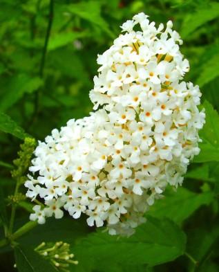 Буддлея белоцветковая 4