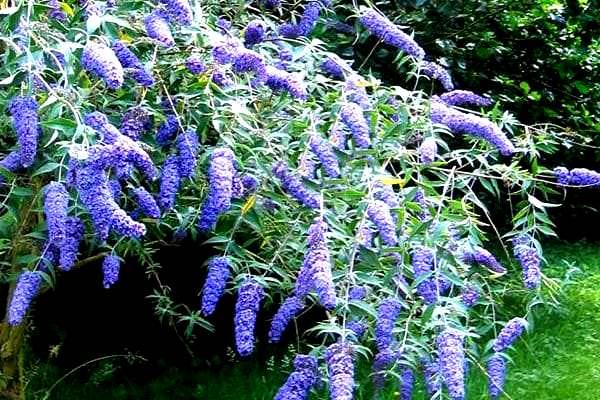 Буддлея Давида Фиолетово-голубая 2
