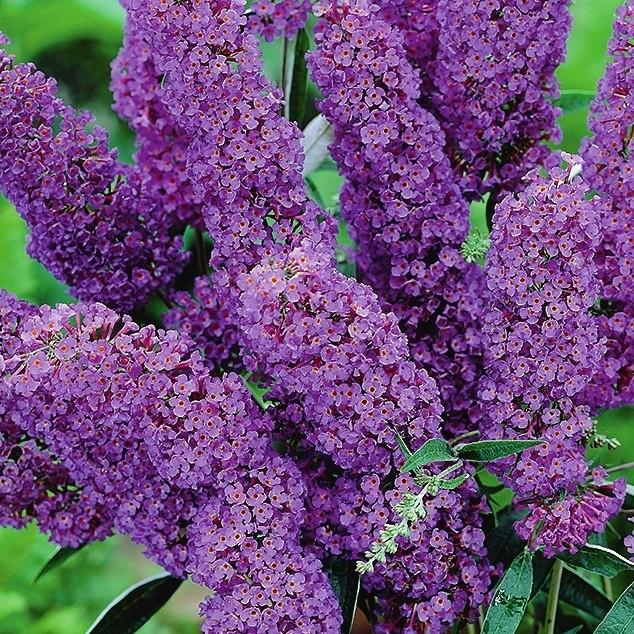 Буддлея Давида Фиолетово-голубая 4