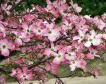 Дерен цветущий Рубра