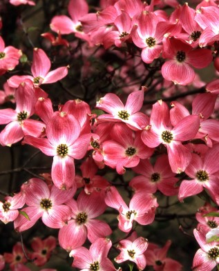 Дерен цветущий Рубра 3