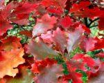 Дуб красный Хаарен