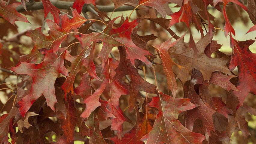Дуб красный Хаарен 2