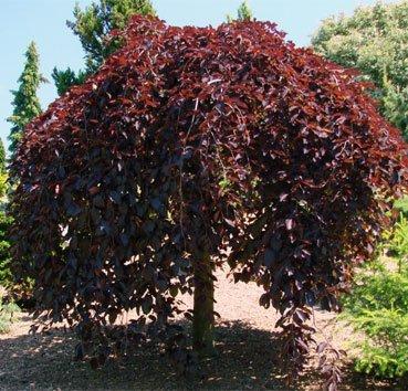 Граб обыкновенный Пурпуреа 3