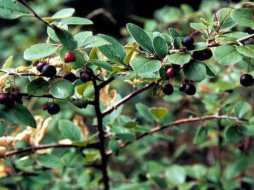 Кизильник черноплодный 1