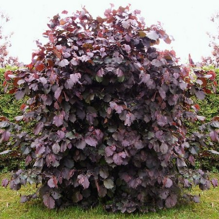 Лещина крупная Пурпуреа 2