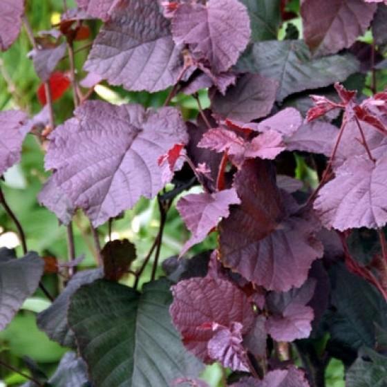 Лещина крупная Пурпуреа 1