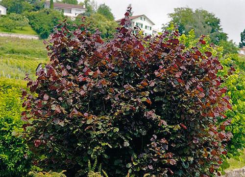 Лещина обыкновенная Пурпуреа 4