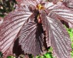 Лещина обыкновенная Пурпуреа