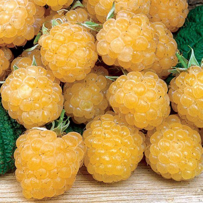 Малина Желтая Медовая 1