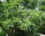 Ольха черная Лациниата