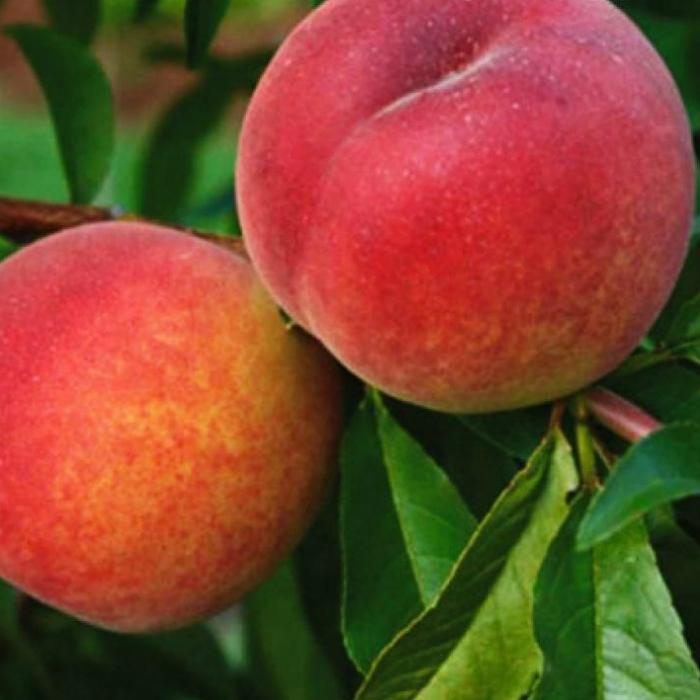 Персик Инка 2