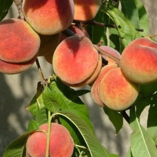 Персик Ирганайский поздний 1