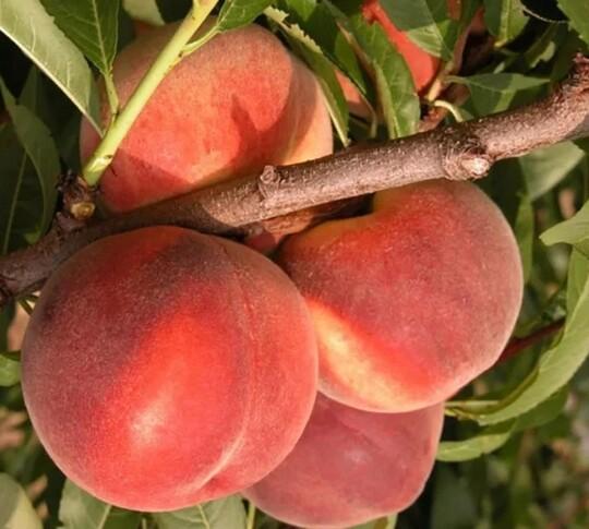 Персик Клокред 1