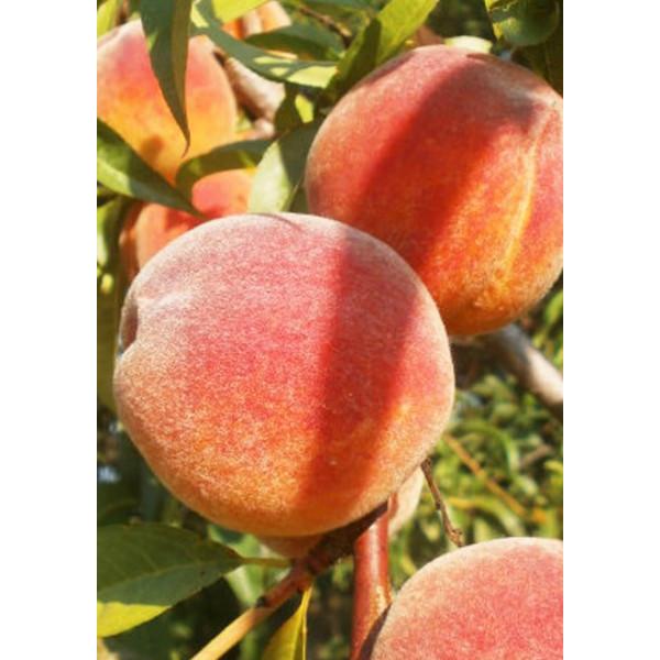 Персик Клокред 2