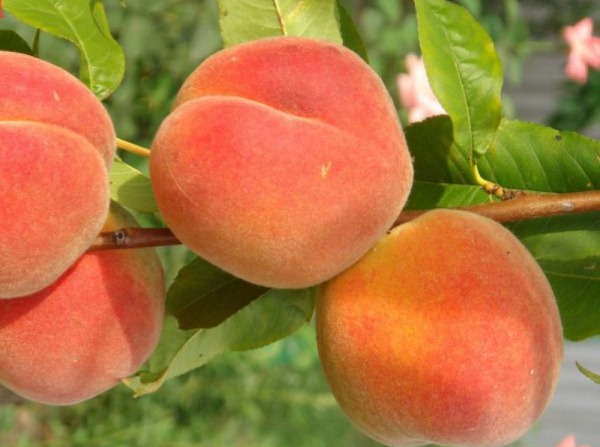 Персик Осенний Румянец 4